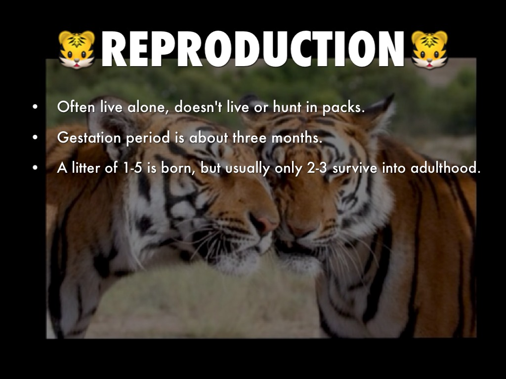 physical characteristics of tigers Physical description amur tigers (panthera tigris altaica) are the largest of the  tiger subspecies males: grow up to 33m long weigh up to 300kg females.