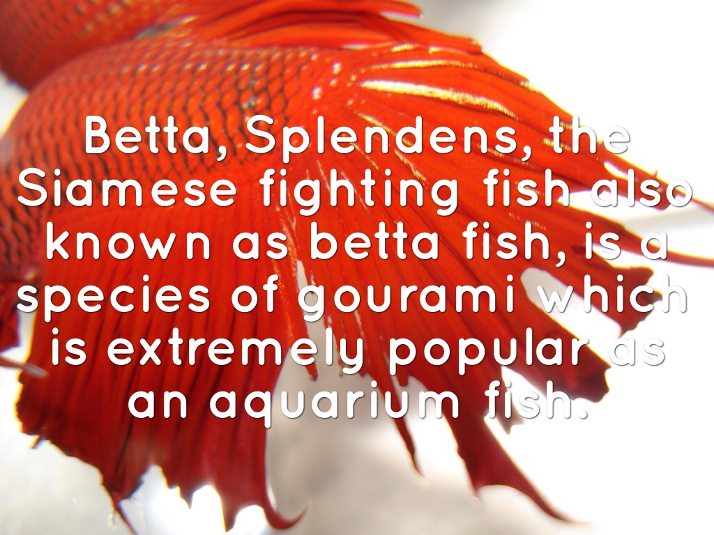 Every Thing You Need To Know On BETTA Fish by