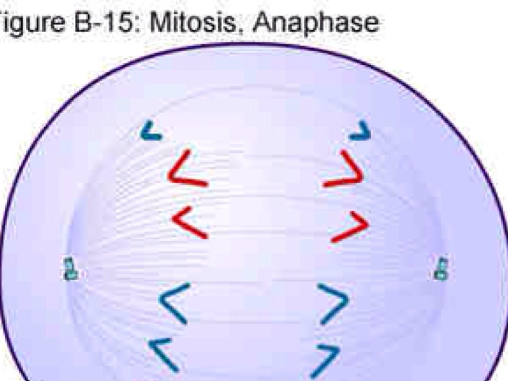 what is the shortest phase of mitosis