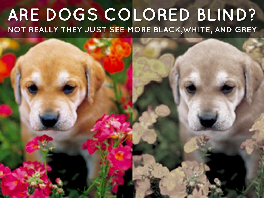 White Boxer Dogs  Boxer Dog Information Center