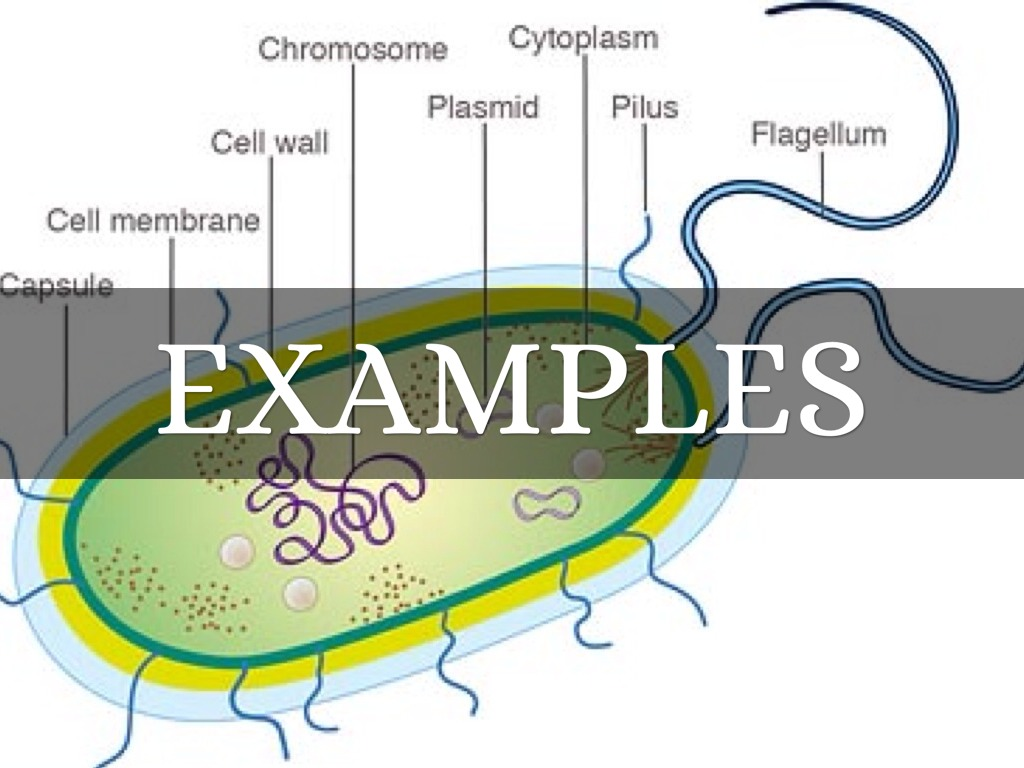 examples of bacteria