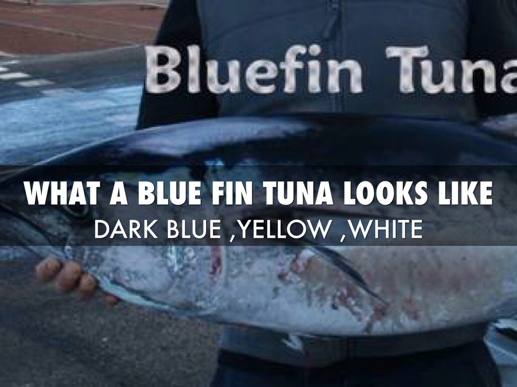 Bluefin tuna by kim broadhead for What does a tuna fish look like