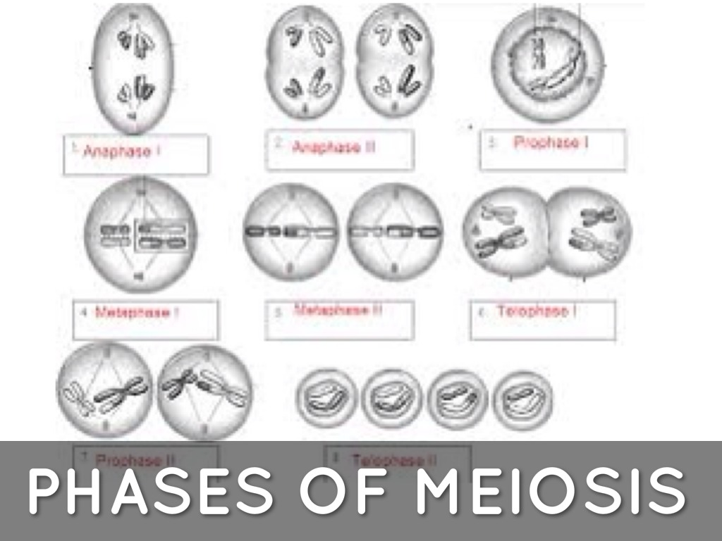 Phases Of Meiosis Worksheet answers to the study guide Diilz – Meiosis Worksheet Key