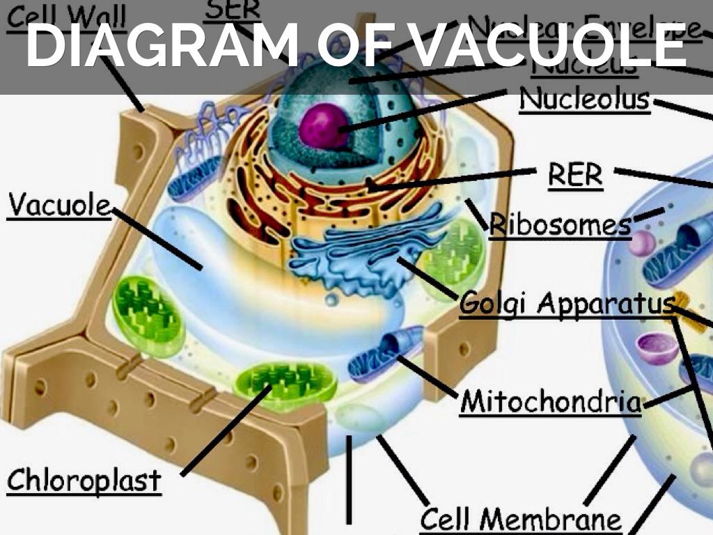 Vacuole by Sue A