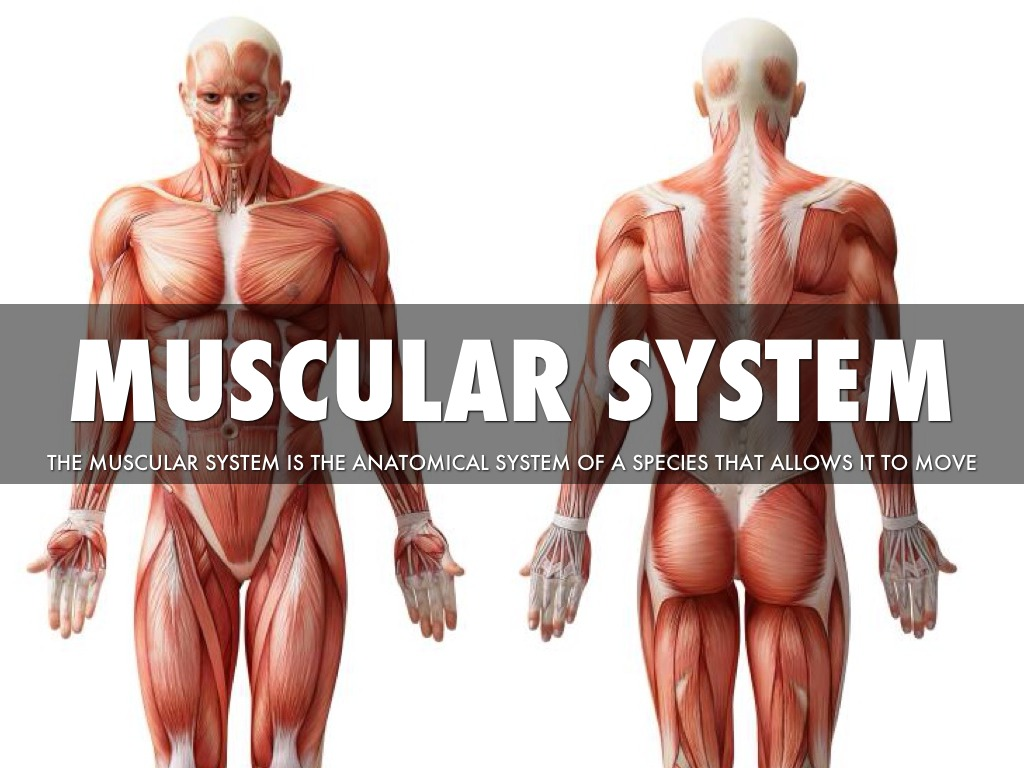 the muscular system Your muscular system and your circulatory system have an especially important relationship, working together to keep each other healthy and support your body this close relationship also leads to some clear benefits when you exercise regularly.