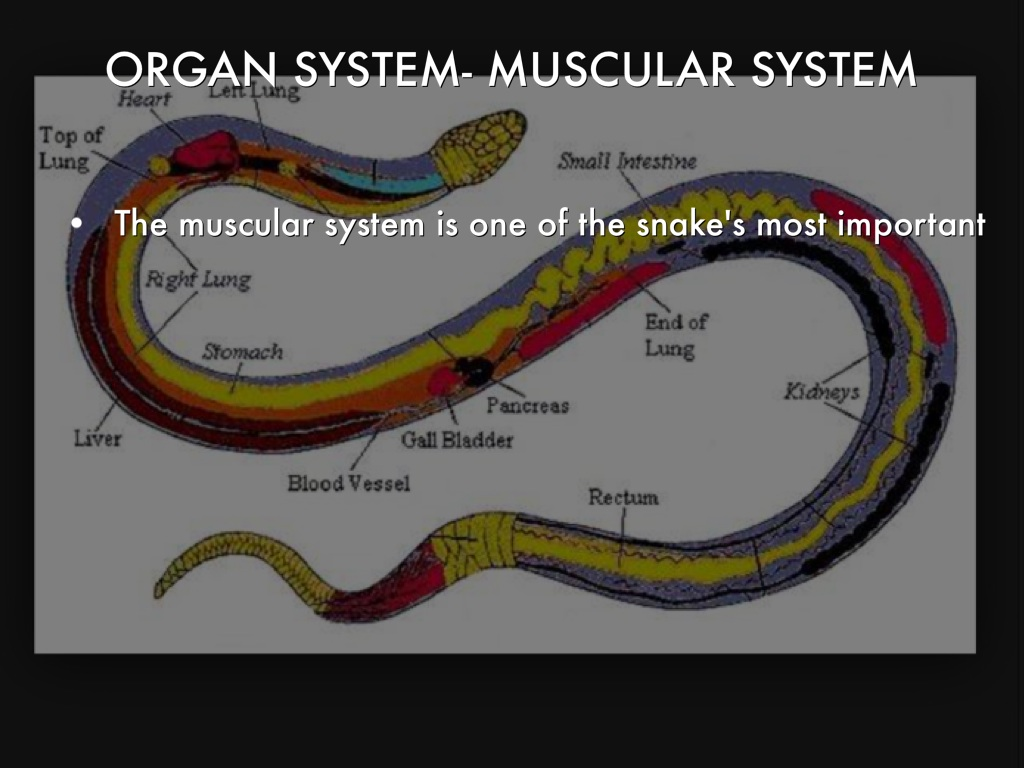 sea snake diagram snake muscular diagram levels of organization by zolund lee #5