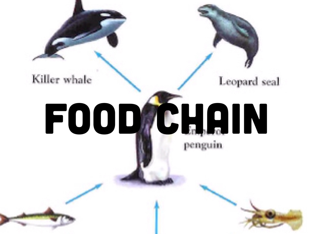 emperor penguin food chain - photo #11