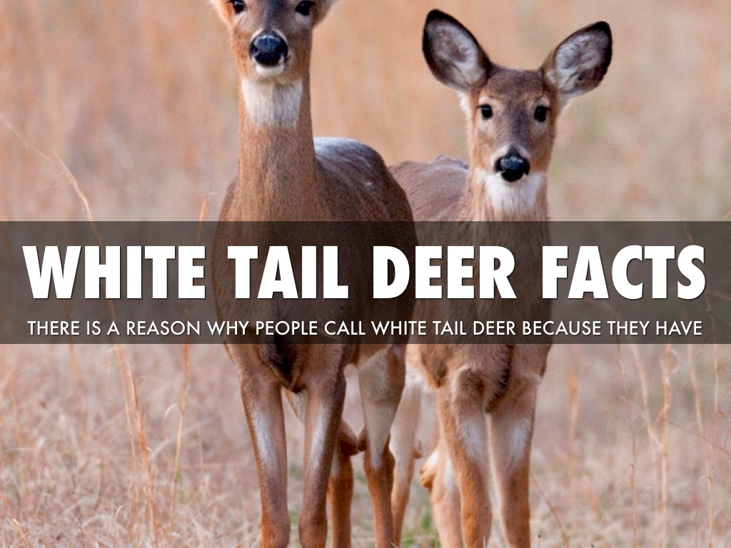 the hunt for the white tail deer All-inclusive, whitetail deer hunting for kansas whitetail deer hunting hunt hickory creek provides semi-guided whitetail deer looking for white gold.