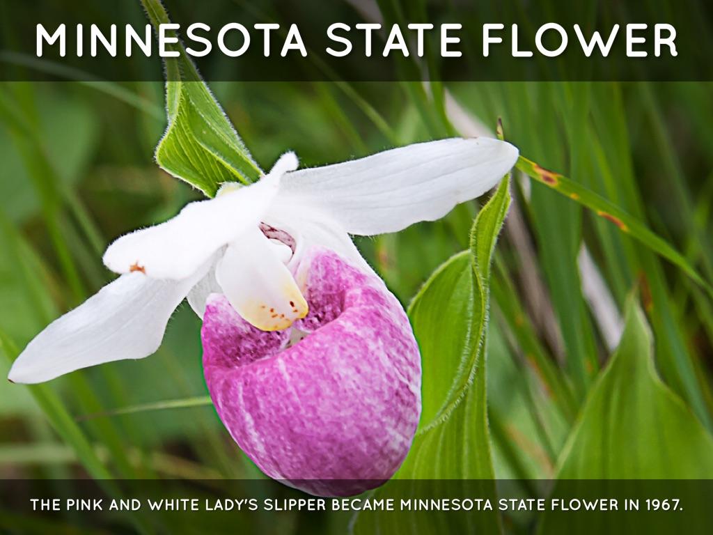 Minnesota State Bird And Flower - Flower