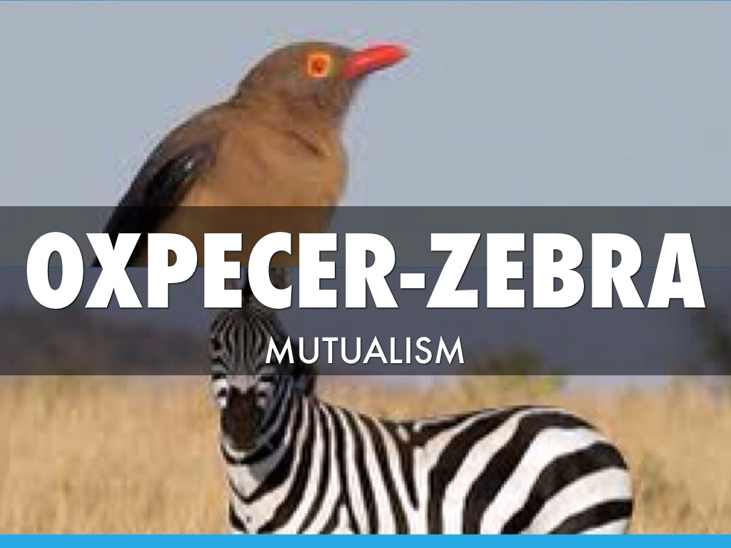 Oxpecker And Zebra Mutualism