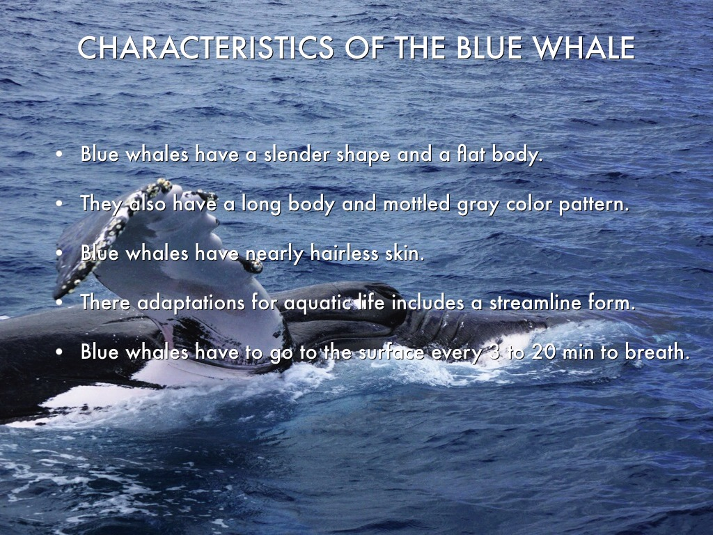 a description of the blue whales The blue whale essay examples 12 total results an analysis of the blue whale, the largest sea creature known to man 1,558 words 3 pages the description the blue whale 1,473 words 3 pages a short description of the blue whale 283 words 1 page.