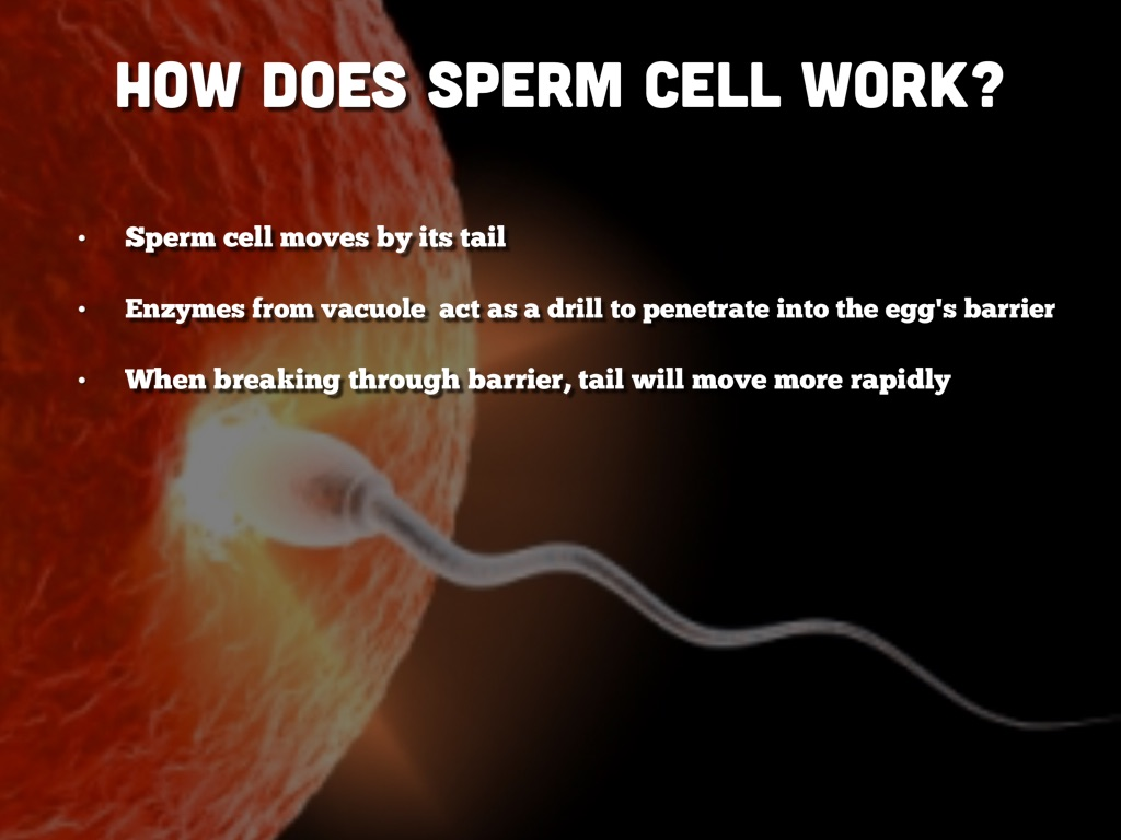 Remarkable, function of a sperm cell your place