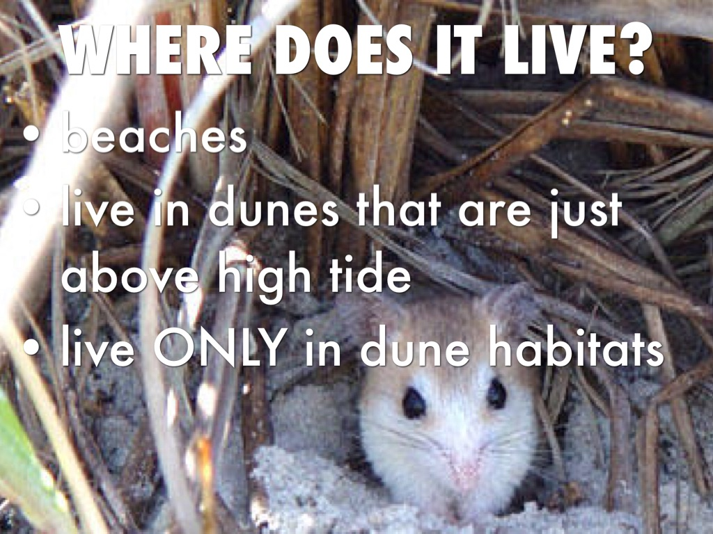 What Does The Anastasia Island Beach Mouse Eat