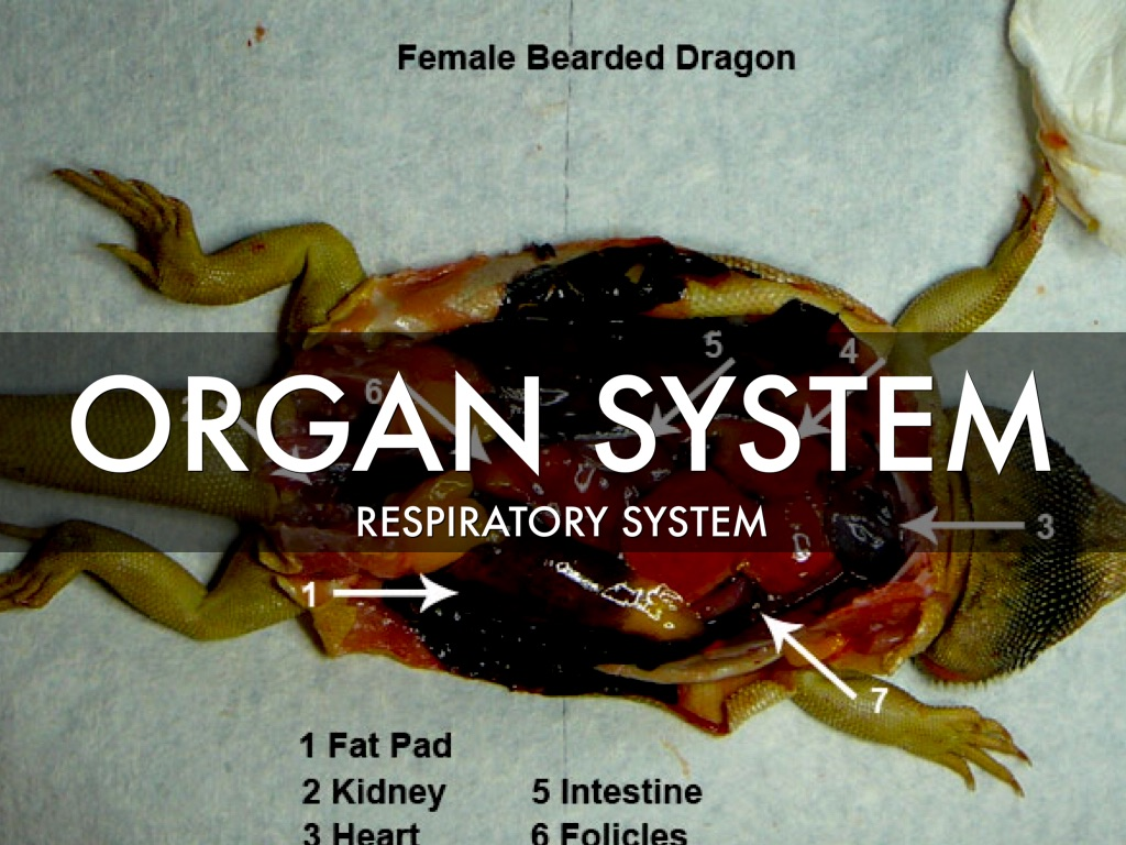 Bearded dragon anatomy diagram 364170 - follow4more.info