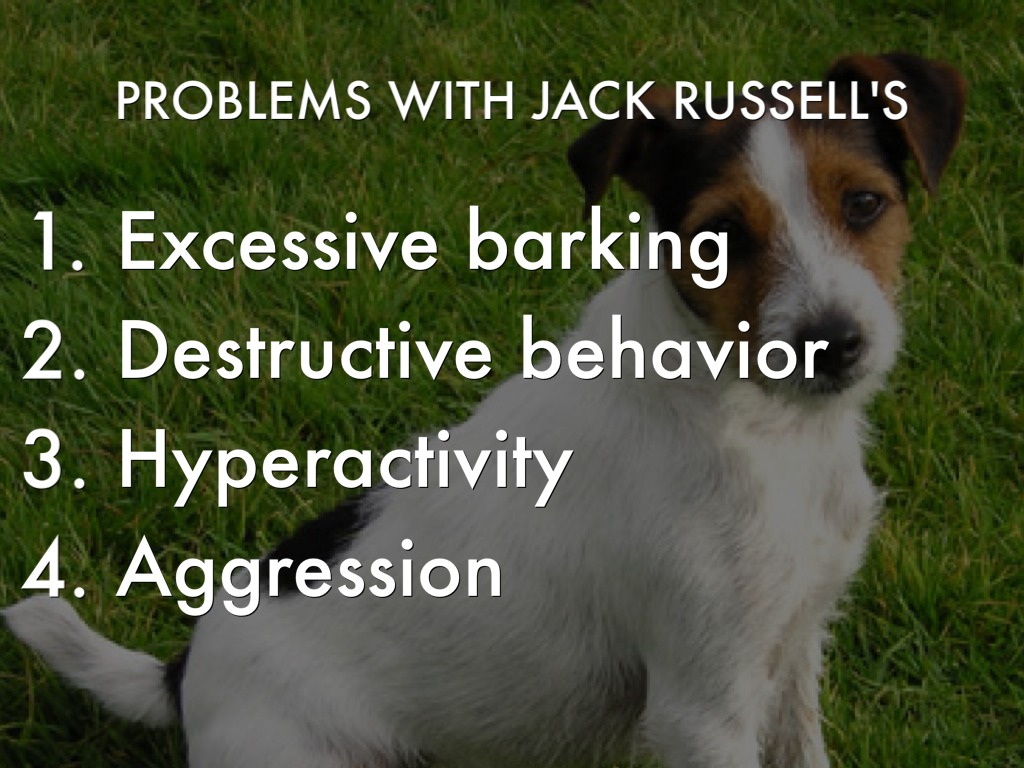 Problems With Jack Rus S Excessive Barking Destructive Behavior