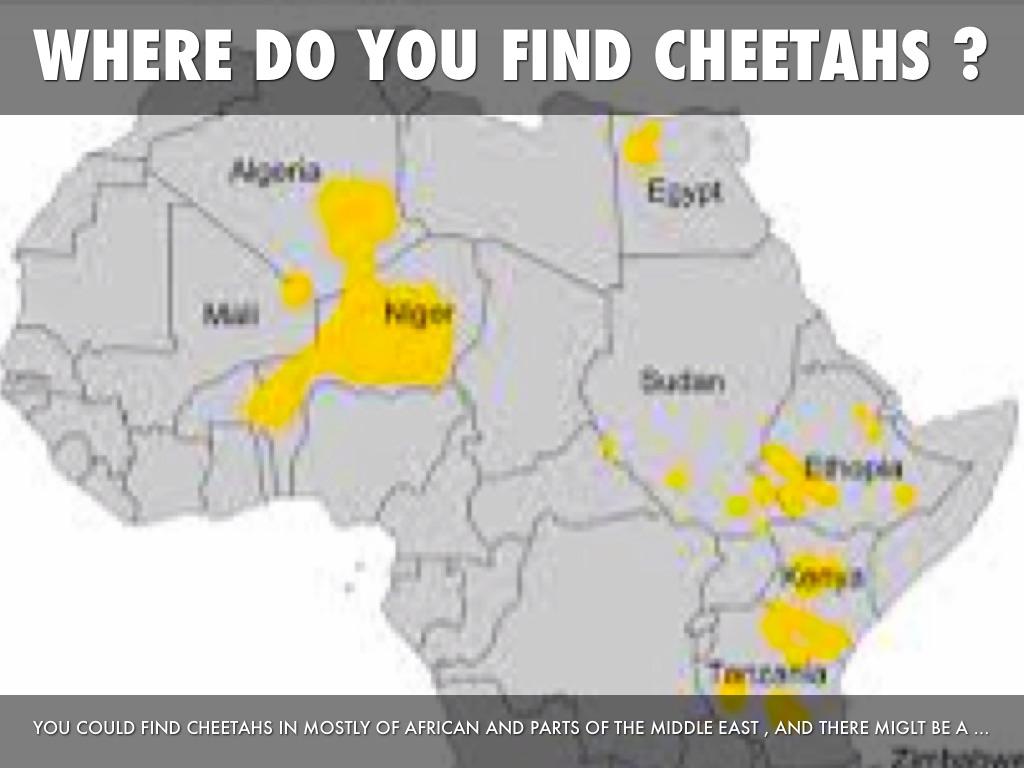 Where Does A Cheetah Live >> Where Do Cheetahs Live Habitat | www.imgkid.com - The Image Kid Has It!