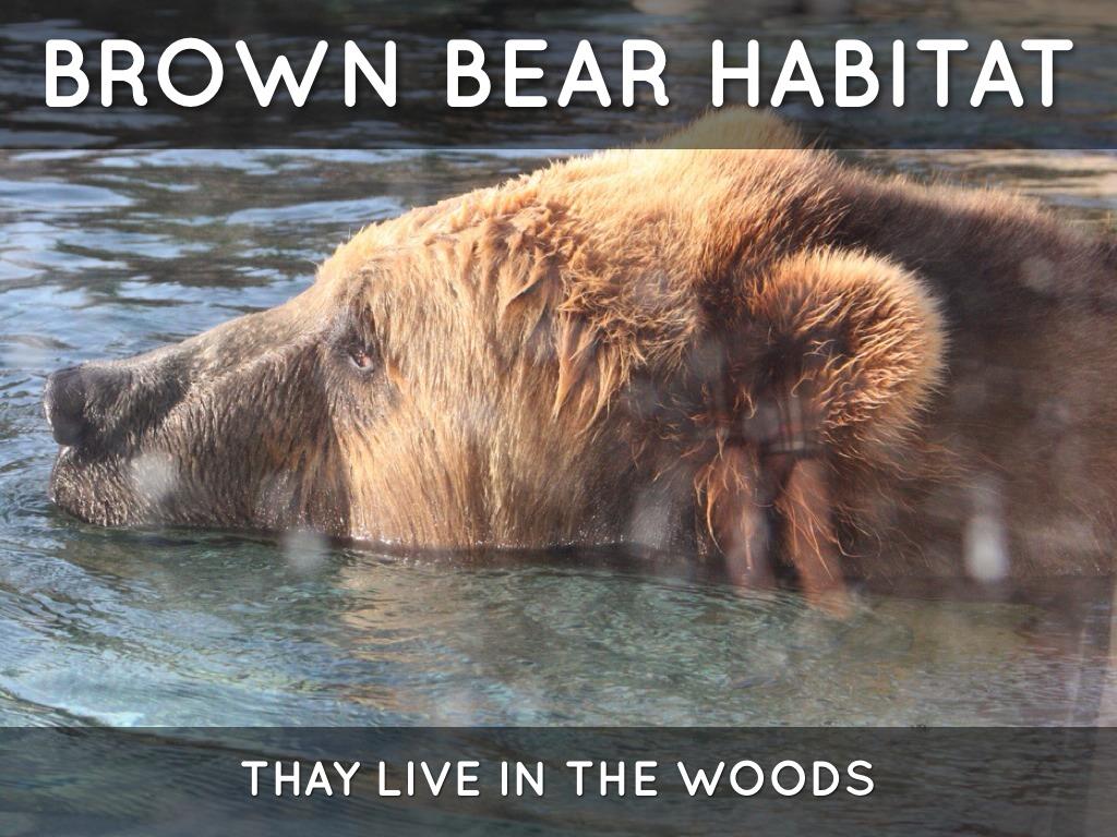 Brown Bear Looking For Food Stock Footage Video 2627255 ...  |Brown Bear Food