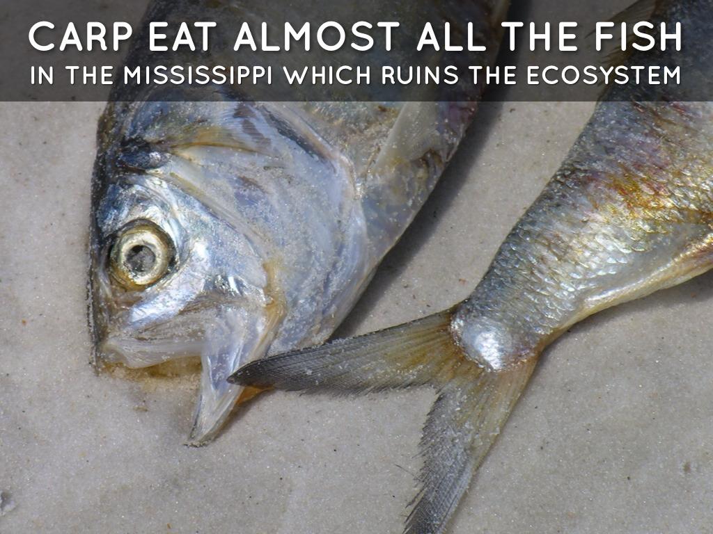 Asian carp by damon neubert for Can you eat carp fish