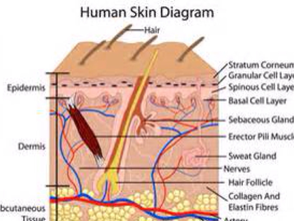 The Human Body Systems By Estrella Parrilla