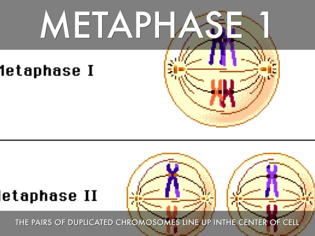 Metaphase Diagram