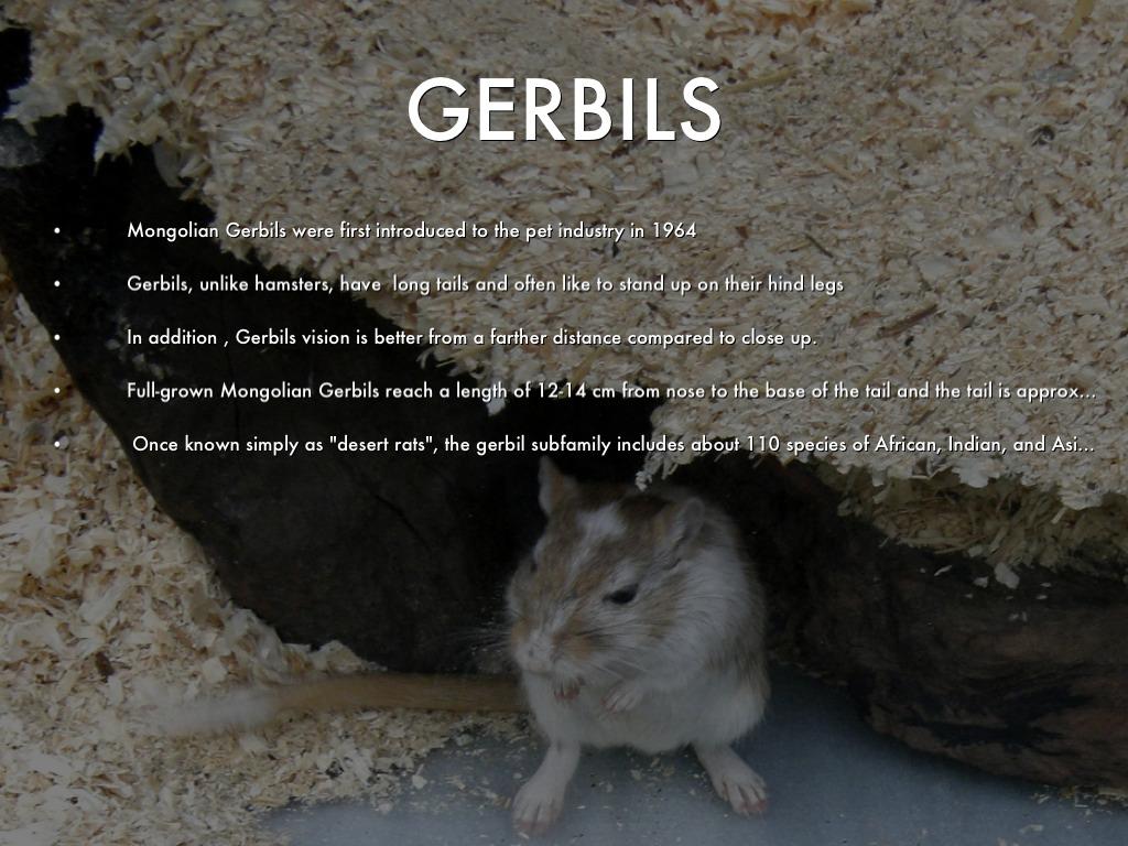 HAMSTERS VS GERBILS by Corey Hopkins
