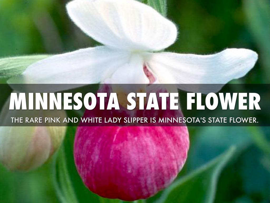Minnesota State Flower Bird And Tree - Flowers Ideas