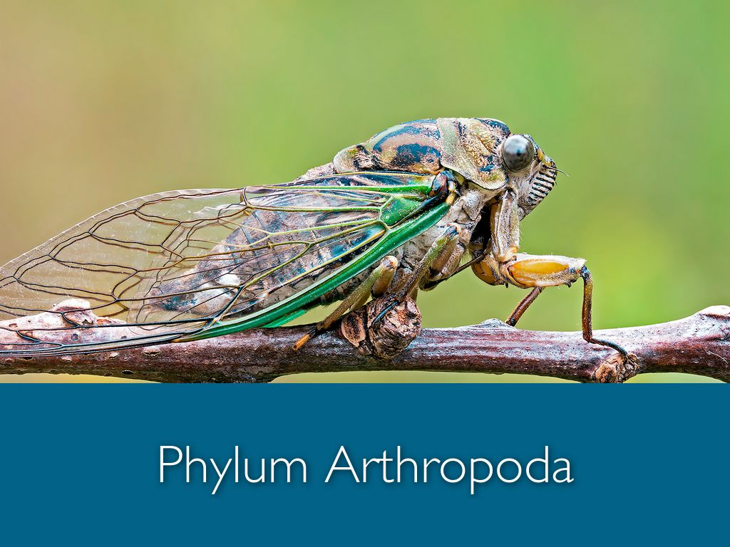 phylum arthropoda Video: phylum arthropoda reproduction system although most arthropods reproduce through direct sexual reproduction and lay eggs, there is much more diversity beyond that we will look at several reproductive features and methods, and review some examples of species that use each type.