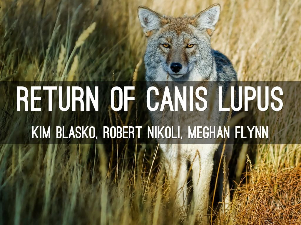 a comparison of canis lupus by julia smith and wolf notes by barry lopez Buy wolves on the hunt by l david accounts of the various stages of gray wolf (canis lupus) else can match the lyricism of barry lopez s of wolves.