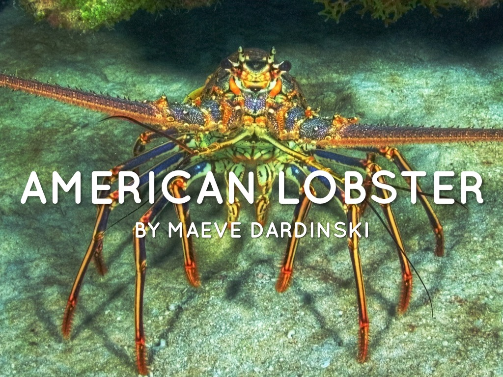 american lobster by maeve dardinski