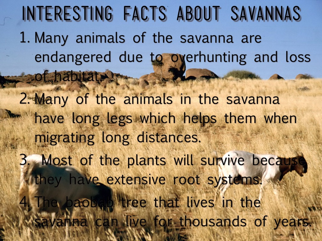 tropical savanna information A savanna or a grassland biome is home to a number of natural resources, including water, livestock and lumber in tropical savannas, and coal, oil, wheat.
