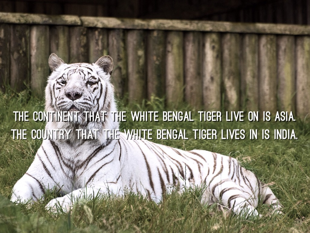 white tiger summary