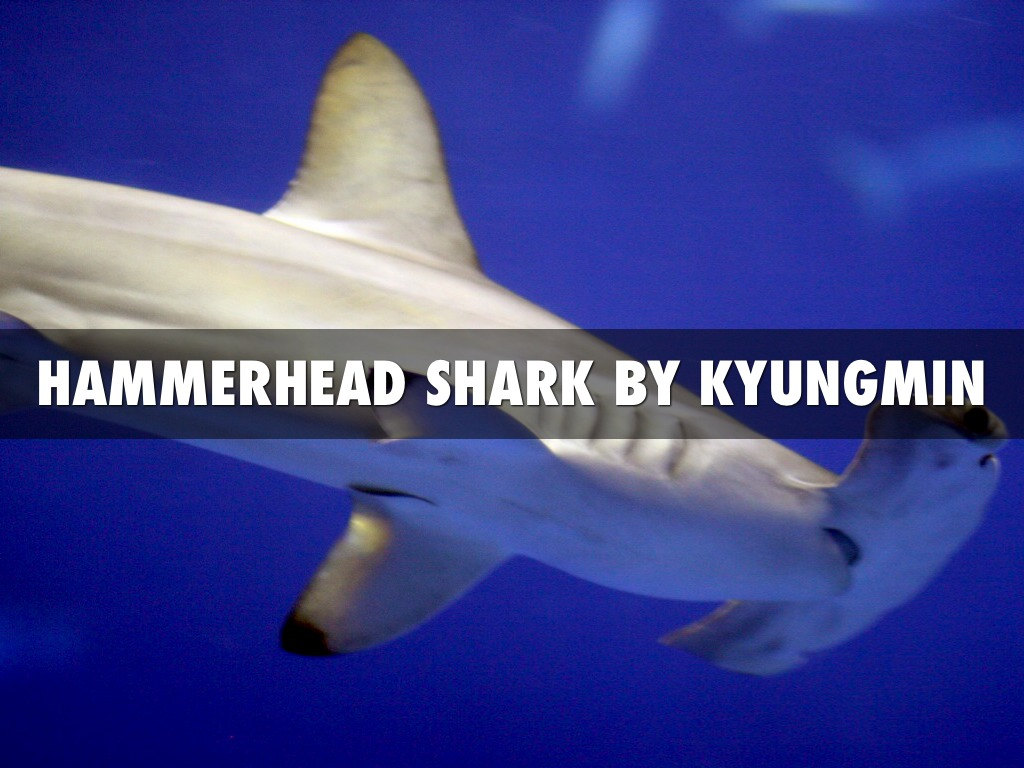 Hammerhead Shark By Kyungmin by p206