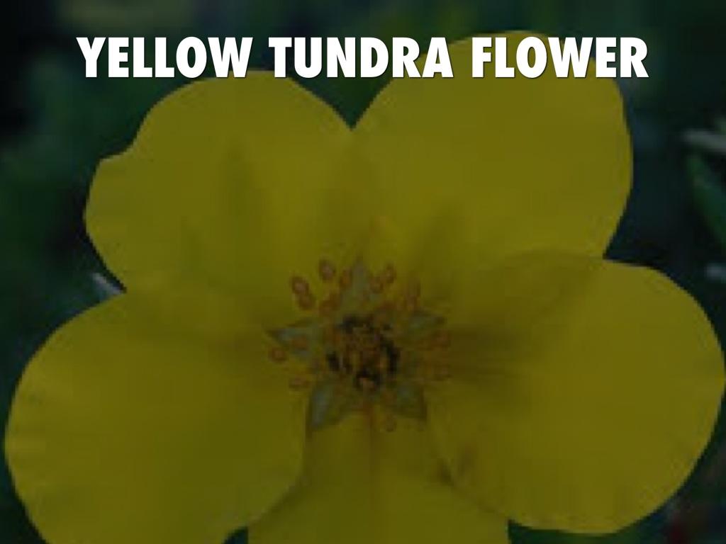 Tundra By Lack5229