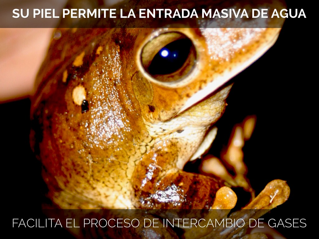 Excreción En Anfibios by manu.lucy.11