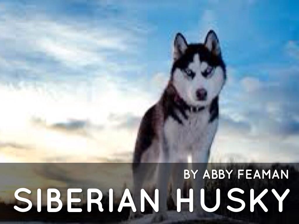 Siberian Husky By Abigail Feaman