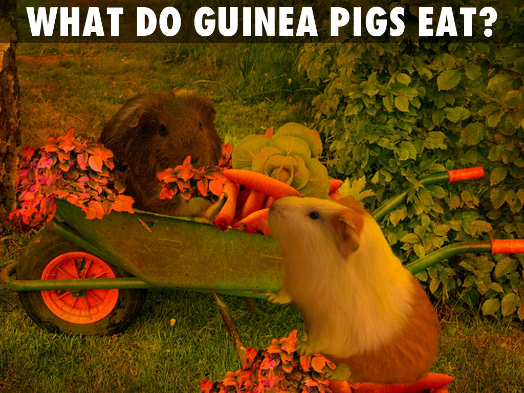GUINEA PIGS by Charly Stagg