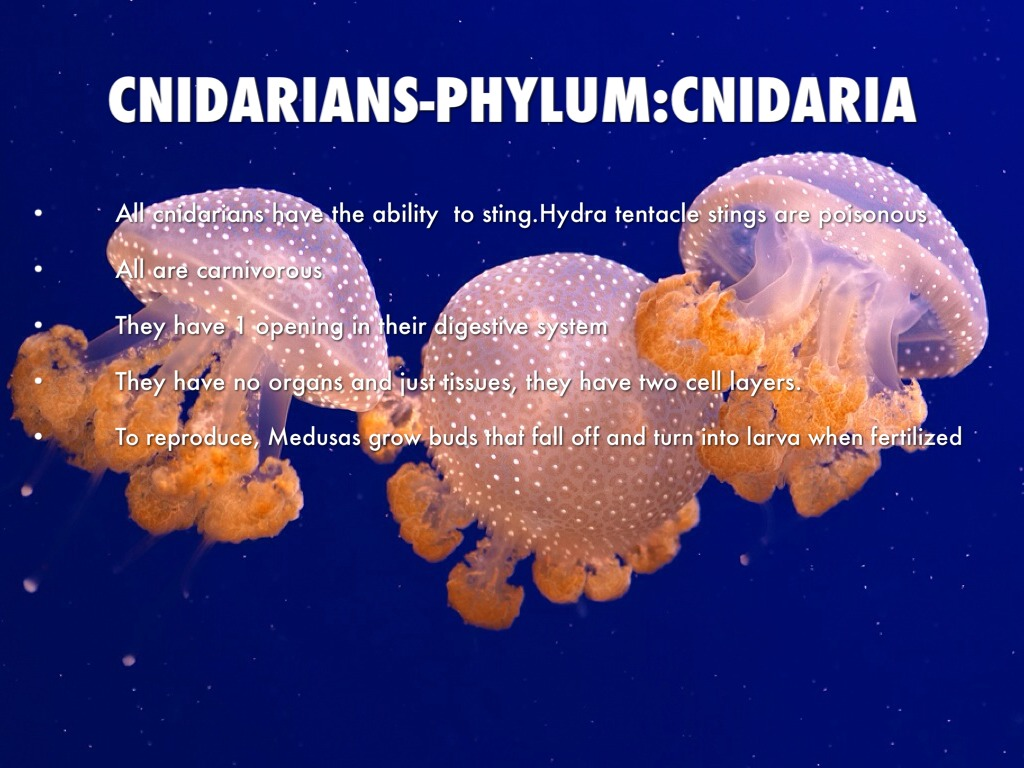 animal phylum poster project Animal diversity poster project introduction: the purpose of this project is to provide students with the basic knowledge of the diversity of the animal kingdom you will work by yourself or with one partner,  first, each team must choose a topic (or two) from the following list:  phylum porifera sea sponges  phylum cnidaria jellyfish.