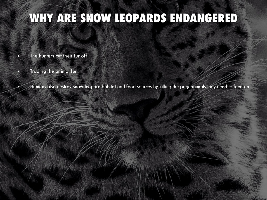 conservation of the snow leopard 2 essay Conservation of the snow leopard essay september 16, 2017 essays the snow leopard is a big cat weighing between 27-54 kilogram ( 60-120 pound ).