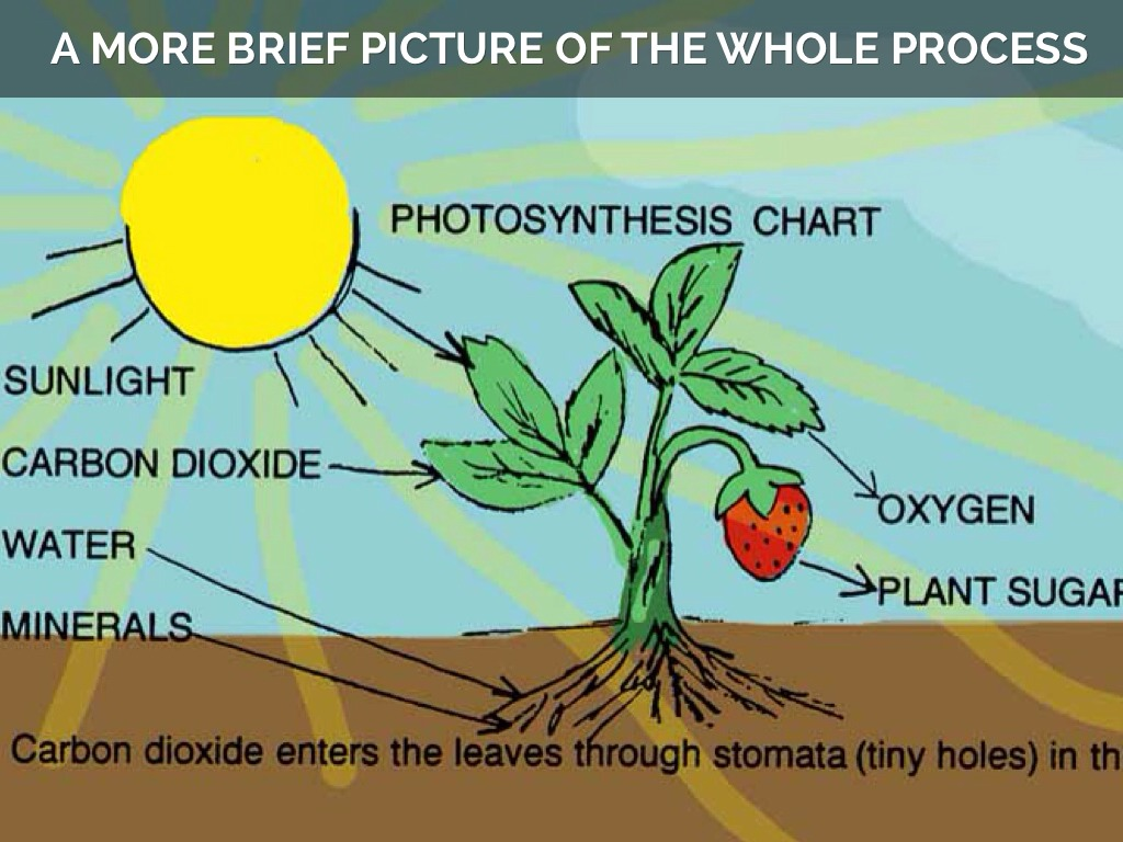 Did you know? Photosynthesis