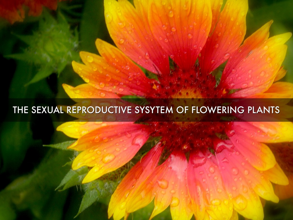 The sexual reproductive parts of flowering plants by izmirmasajfo