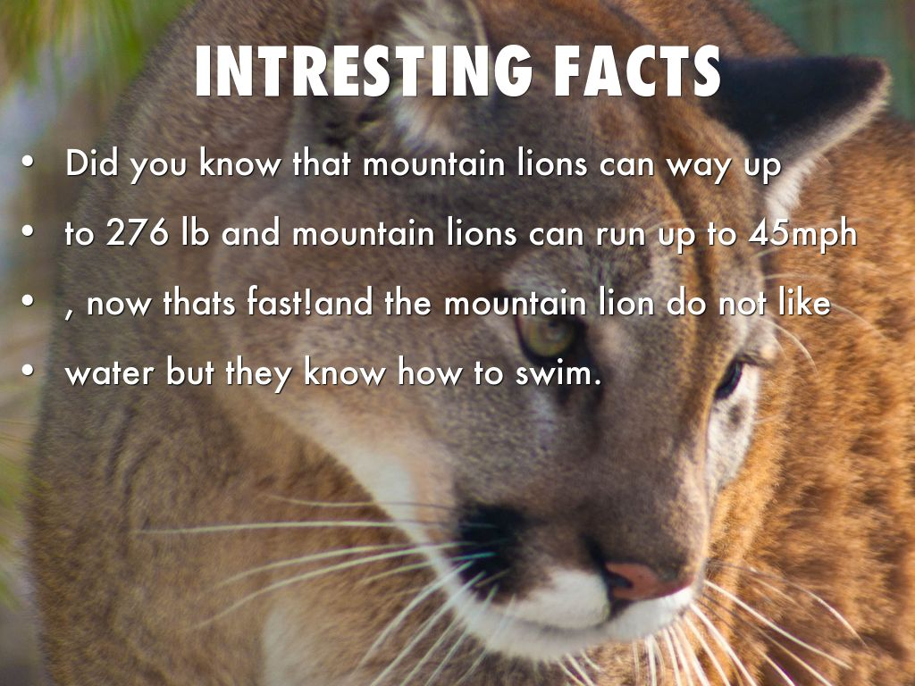 mountain lion by heathermarie1182 - photo#6