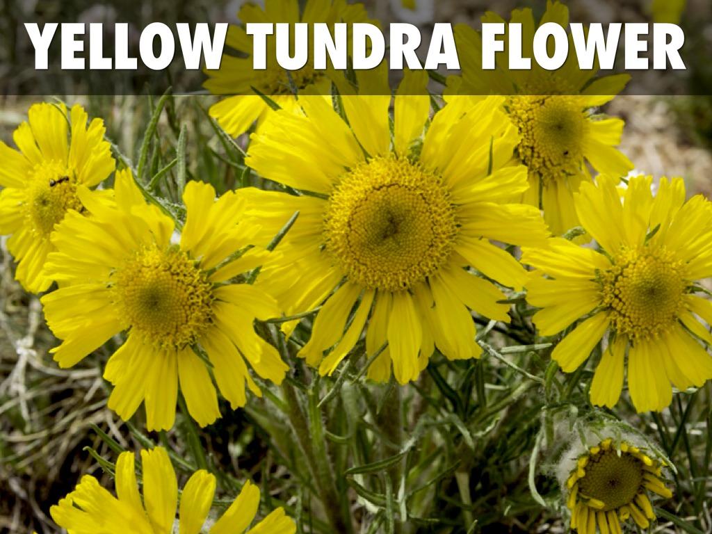 Tundra by lareelivingston dwarf willow mightylinksfo