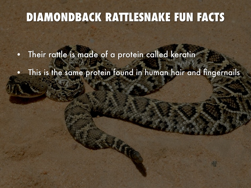 Rattlesnake animal adaptations
