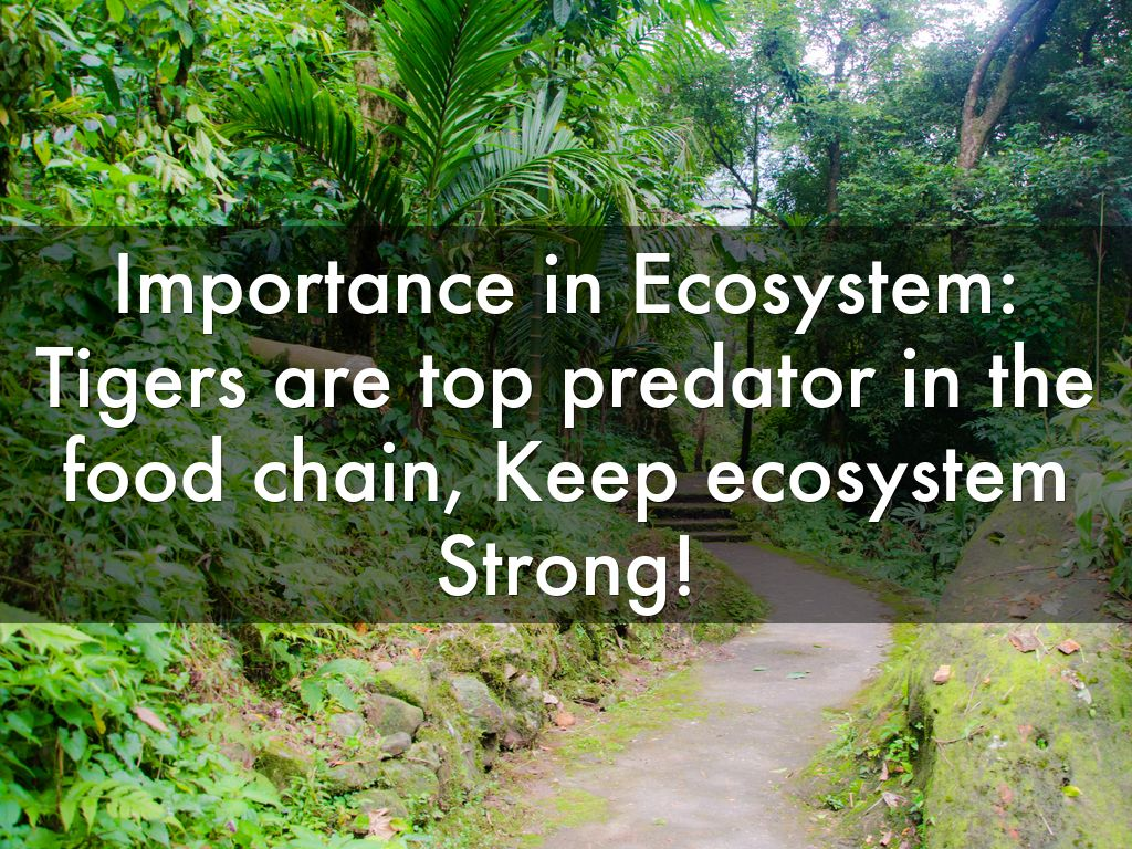 importance of tigers in the ecosystem Tigers play a pivotal role in the health of the ecosystem tigers constitute the top carnivores in the ecosystem and is at the apex of the food chain the removal of a top carnivore from an ecosystem can have an impact on the relative abundance of herbivore species within a guild.