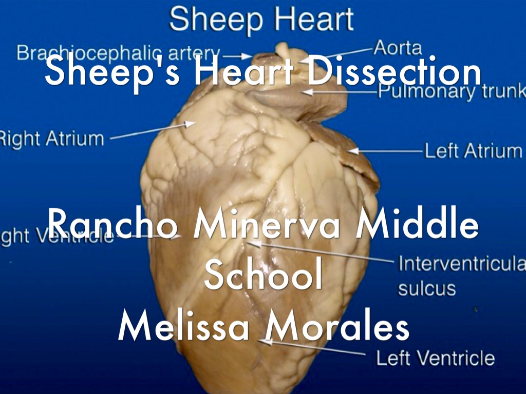 Sheep U0026 39 S Heart Dicection By Melissa Morales
