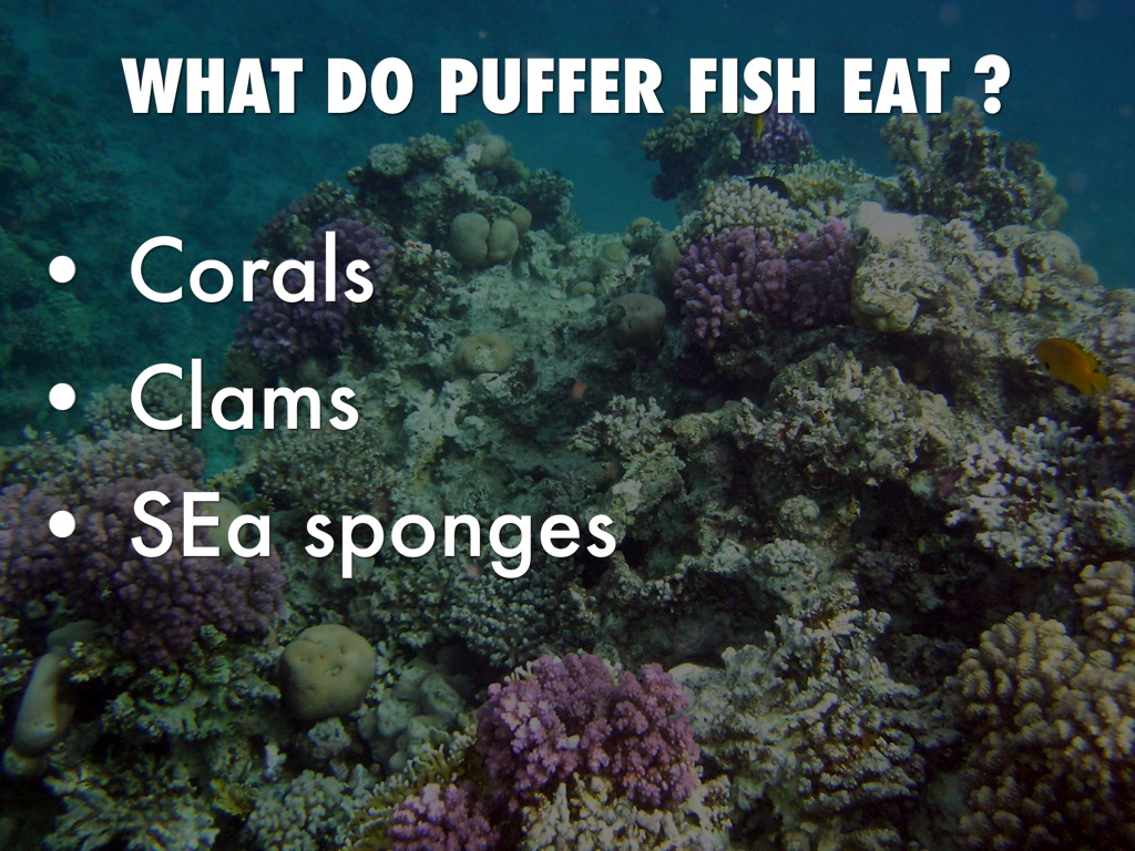Puffer fish by woody monsters for What does fish eat