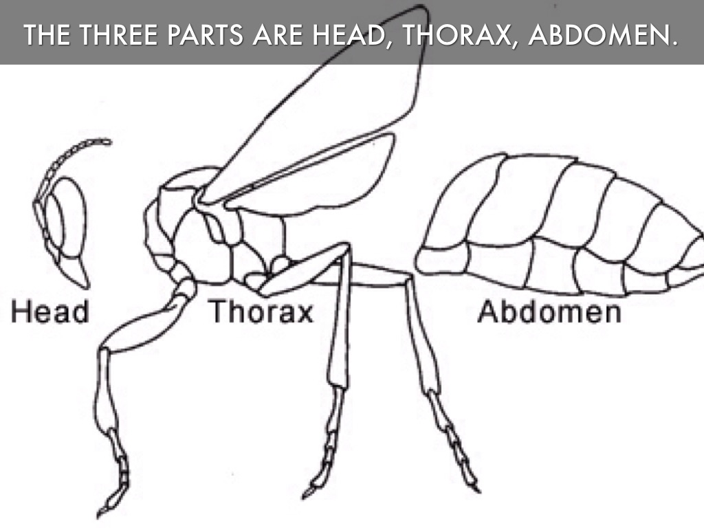 head thorax abdomen pictures to pin on pinterest