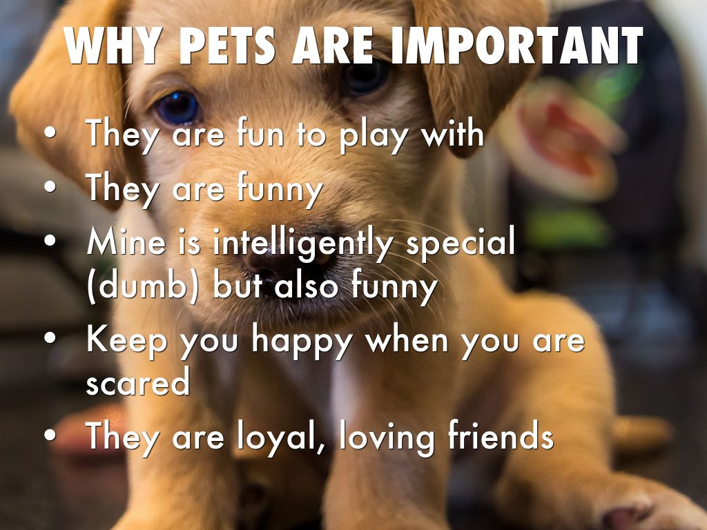 why are pets important essay I am fond of pets i have a pet dog i call it jim it is two years old it is very beautiful to look at it is smart and active it runs at an incredible speed.