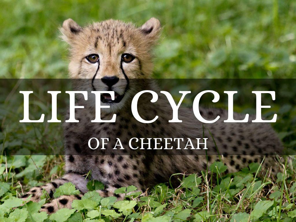 Cheetahs by ni28nickel