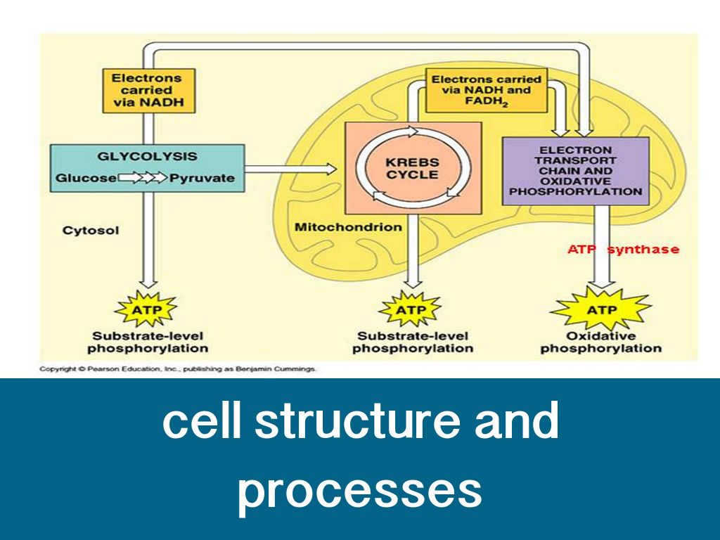 cells: structures & processes essay How the structure of cells is related to their  describe how the structures of different polymers  the effect of temperature and the processes which occur in.